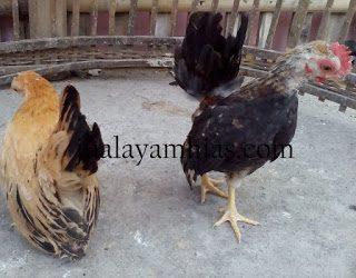 Ayam Serama Usia 3 Bulan1
