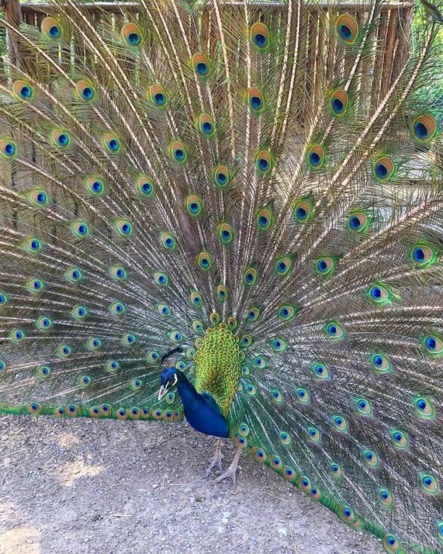 Burung Merak Biru Jantan