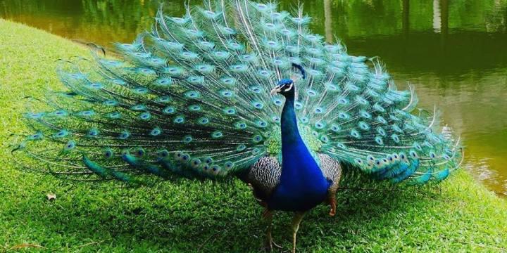 Beternak Burung Merak Sebagai Burung Peliharaan Keluarga