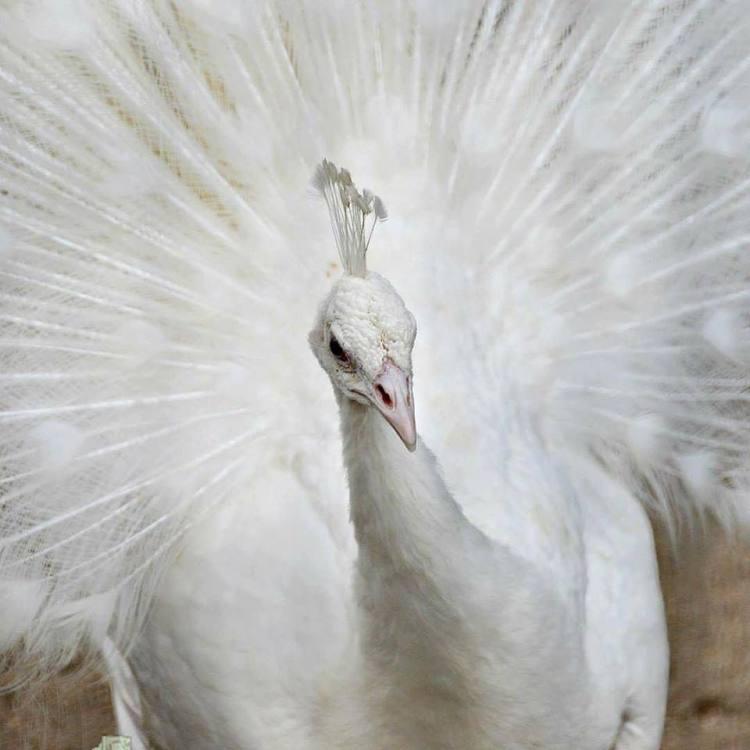 Burung Merak Putih Dewasa Jantan