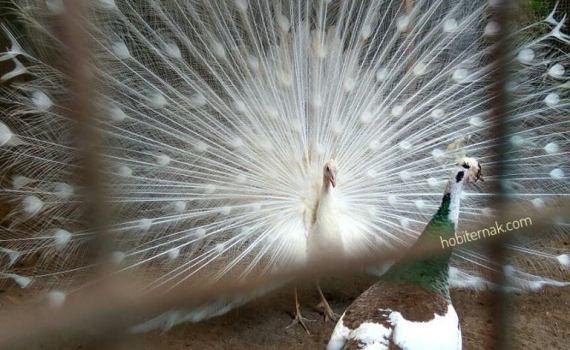 Burung Merak Putih Sepasang