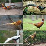 Harga Ayam Pheasant Berbagai Jenis