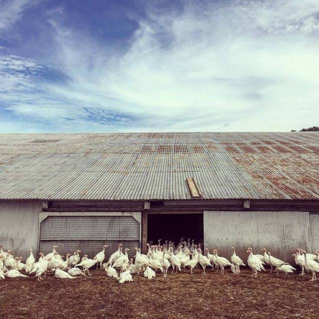 Memiliki postur tubuh yang besar maka kandang yang di buat juga harus besar supaya ayam dapat bergerak dengan nyaman | kandang kalkun