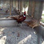Ringneck Pheasant Dewasa Jantan