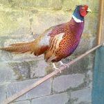 Galeri Foto Ringneck Pheasant Terbaru