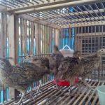 Ringneck Pheasant Usia 1 Bulan1