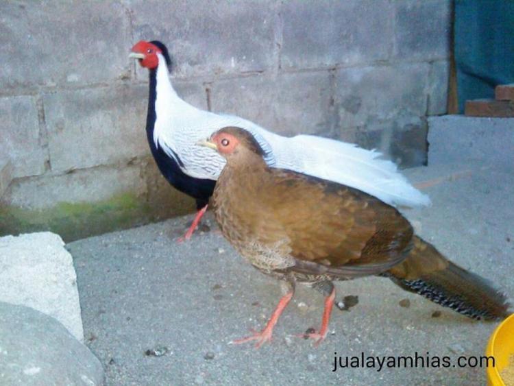 jual golden pheasant