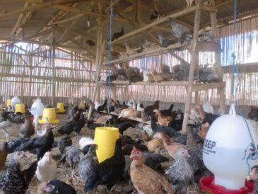 Tangkringan di Kandang Ayam Kampung