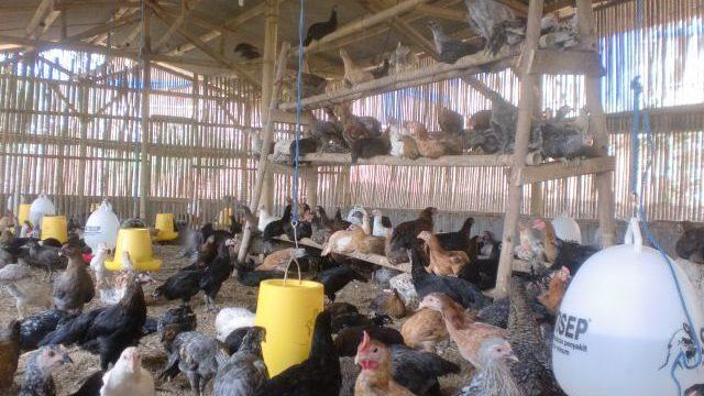 4 Cara Mudah Mengatasi Ayam Kampung Super yang Kanibal Mematuk Ayam Lain