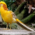 Yellow Pheasant atau ayam pegar kuning