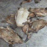 Mengenali Resiko Dalam Ternak Bebek Petelur dan Pedaging