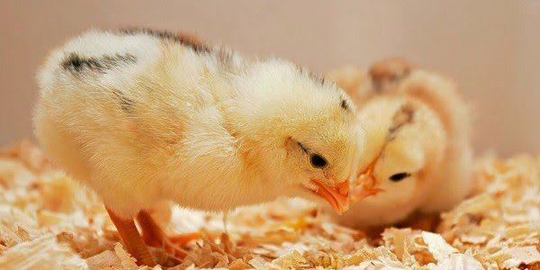 2 Langkah Pemberian Pakan untuk Ayam Kampung Super Serta Pemberian Vitamin dan Pencegahan Penyakit pada Ayam Kampung Super
