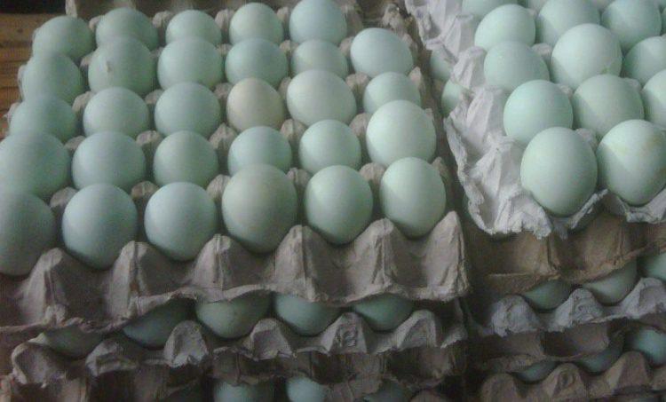 Telur Bebek Mojosari - Ternak Bebek Petelur Mojosari