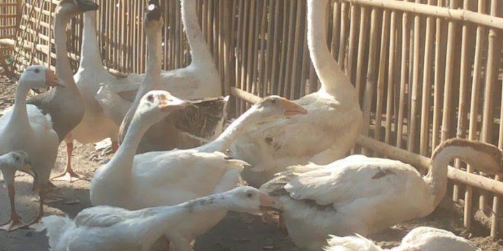 Harga Angsa Serta Berbagai Macam Manfaat di Balik Daging dan Telur Angsa
