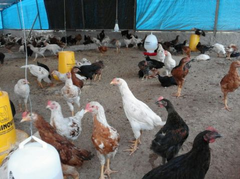 jual ayam joper depok