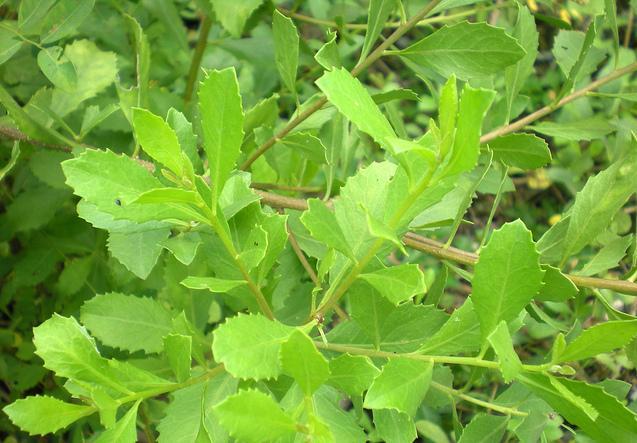 Penggunaan Ramuan Herbal Untuk Meningkatkan Produktivitas Pada Bebek | image 2