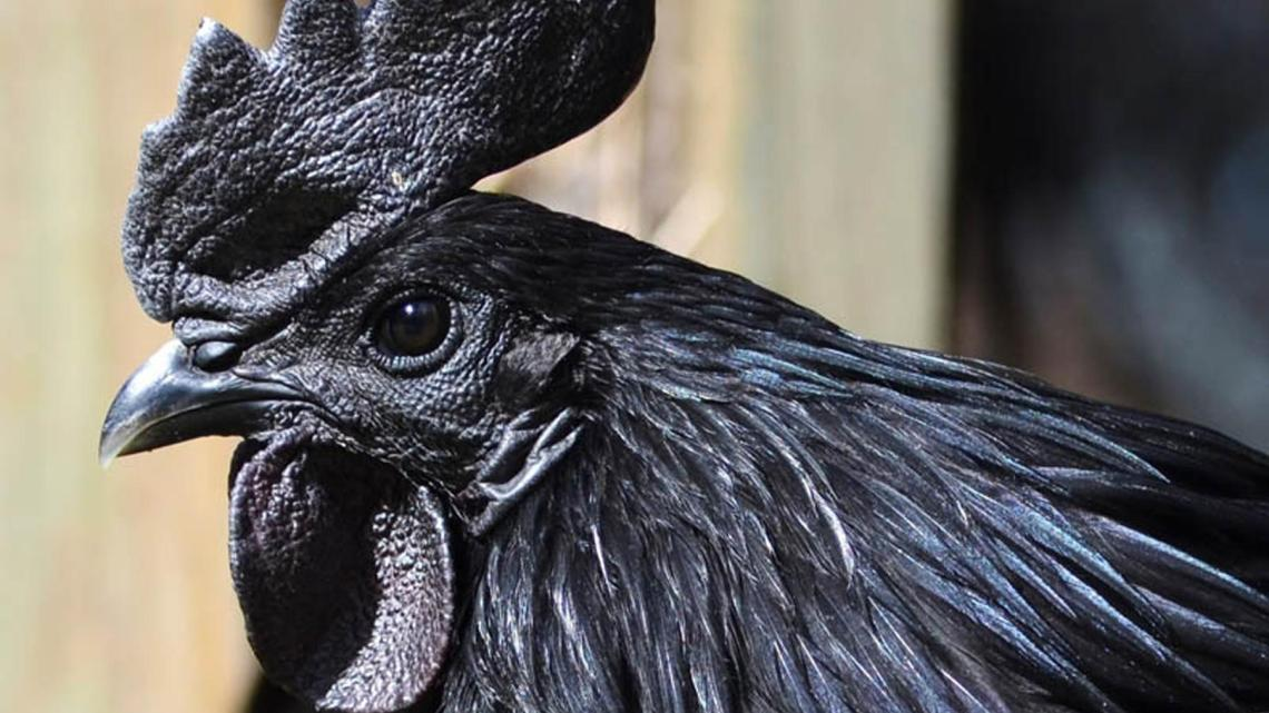 black chicken breeds