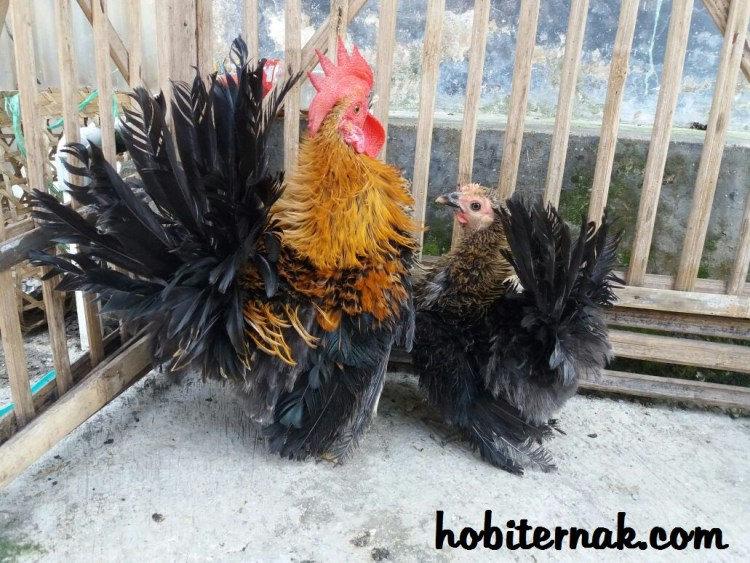 Ayam Kate Walik
