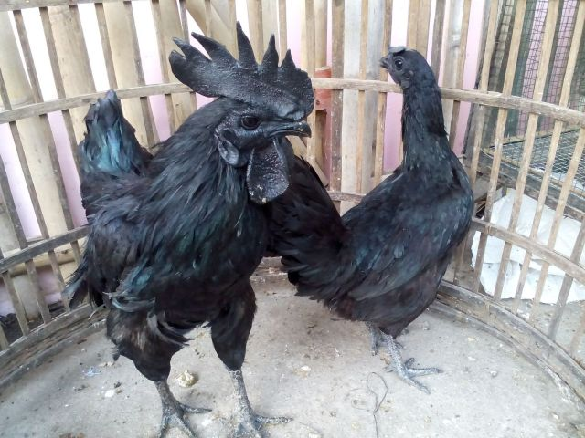 This chicken called cemani chicken because almost of their part of the body are black.   Pair of cemani chicken