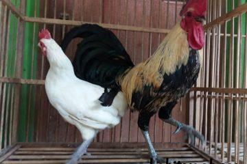 jenis ayam ketawa