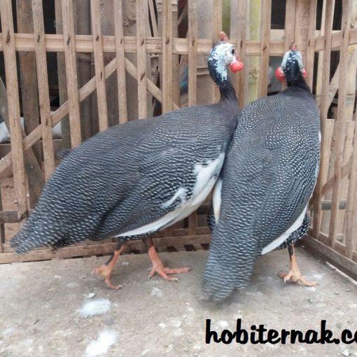 jual ayam mutiara plangkok