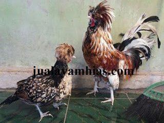 Kandang Ayam Poland