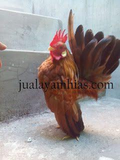 Ayam Serama Asli