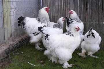 cara ternak ayam brahma
