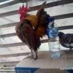 The Easy Ways of Serama Chicken Breeders To Produce Serama With A Good Quality