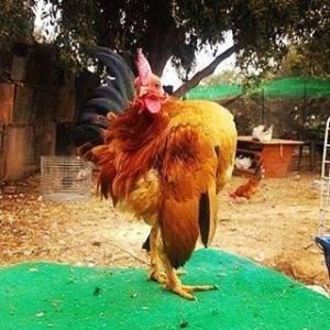 harga ayam serama kontes
