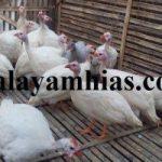 Cara Budidaya Ayam Mutiara Pada Musim Penghujan