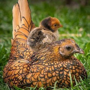 list of fancy chicken breeds
