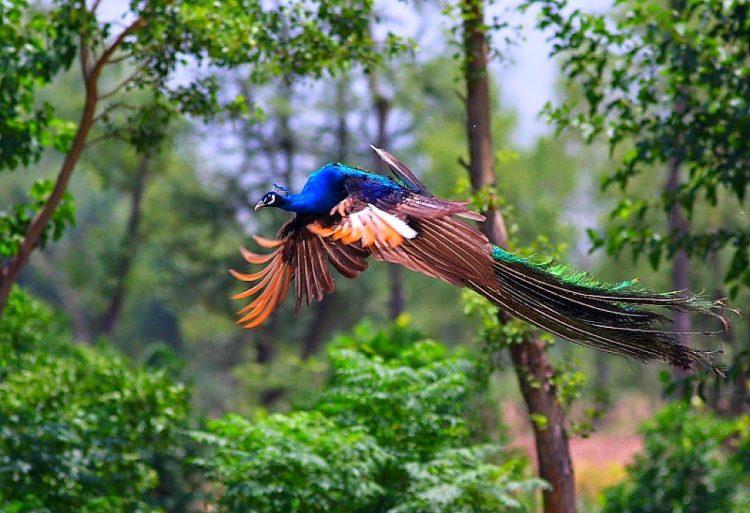 Burung Merak Terbang