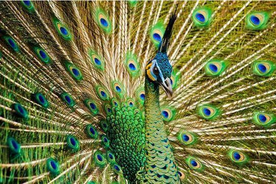 Merak hijau adalah satu-satunya jenis merak yang di lindungi oleh pemerintah. Karena saat ini burung merak hijau di Indonesia mulai punah