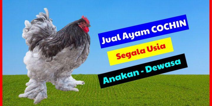 Jual Ayam Cochin atau Shanghai Chickens Dari Anakan Sampai Dewasa