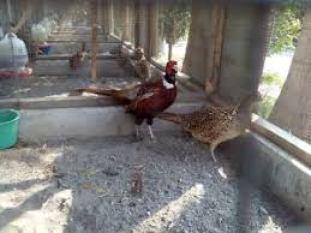 ayam pegar