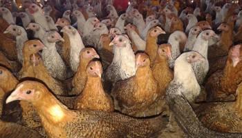 Ayam Arab Petelur
