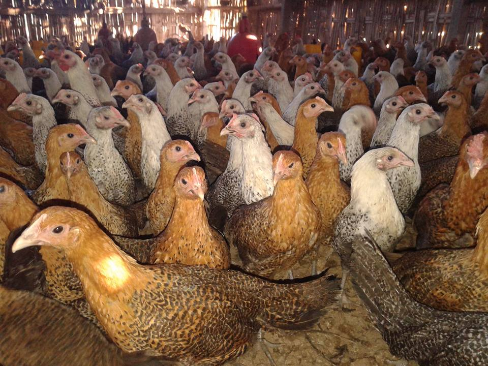 Ayam Arab Betina Persiapan Produksi