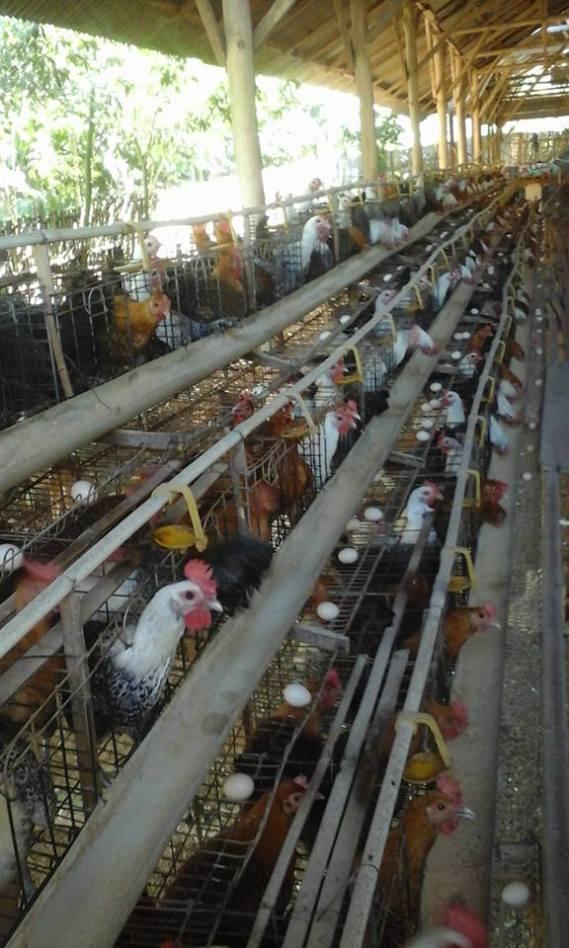 Peluang usaha ternak ayam arab petelur saat ini masih memiliki potensi yang bagus | image 2
