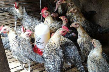 Harga Ayam Arab