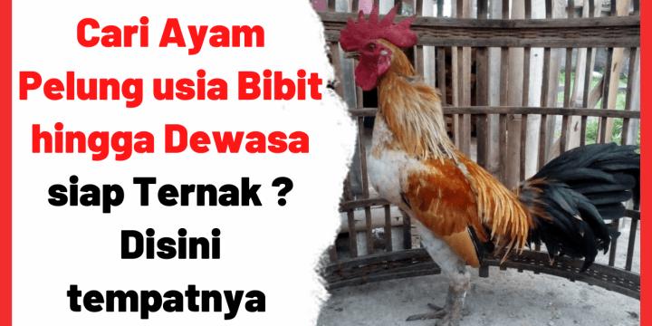 Cari Ayam Pelung usia Bibit hingga Dewasa siap Ternak ? Disini tempatnya