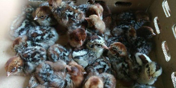 Mudahnya Berbisnis Ayam Arab Petelur