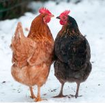Taking Care Of Chickens During The Winter Keep Your Chicken Warm