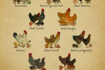 chicken breeds chart