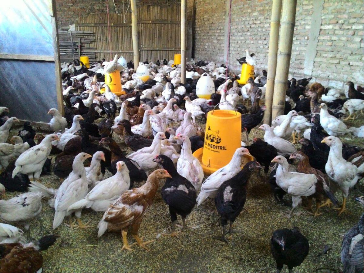 Harga Jual Terbaru DOC atau Bibit Ayam Kampung Super (JOPER) 2019