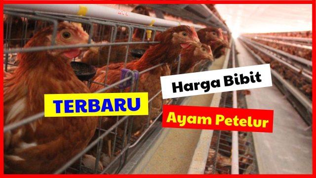 Terbaru harga bibit ayam petelur