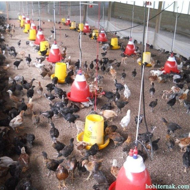Salah satu kandang ayam joper (ayam kampung super)
