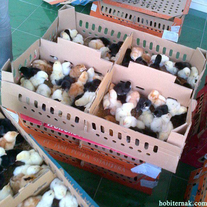 Ciri-ciri bibit DOC Ayam Kampung Super Unggul