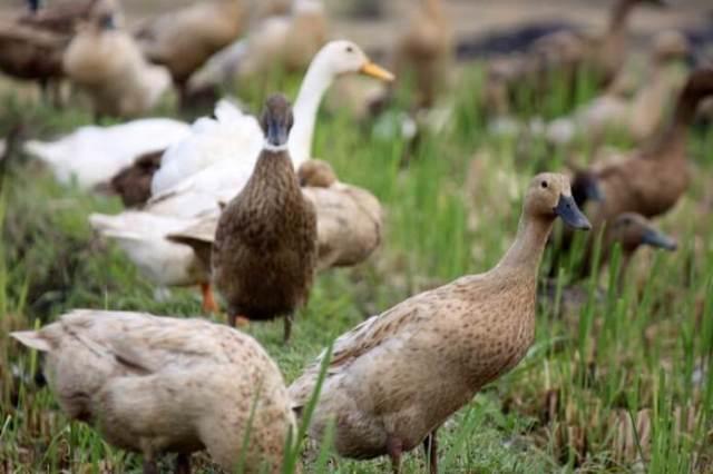 Pemeliharaan bebek yang sedang sakit harus segera mendapatkan peanganan khusus di kandang atau tempat yang berbeda