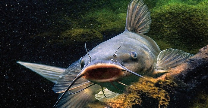 Morfologi Ikan Lele? Kita Intip Yuk Beserta Anatominya